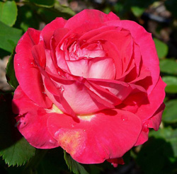 Photo of Rosa 'Rose Dot' at the San Jose Heritage Rose Garden