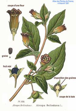 Por A. Masclef (Atlas das Plantas da França. 1891) [Domínio público], via Wikimedia Commons